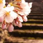 みやみや-桜? (720x960)