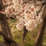 由美さん-桜 (720x960)